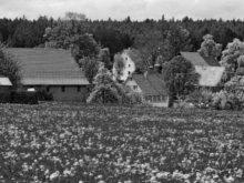 Wiese mit blühenden Sternenblumen in Gaugenwald